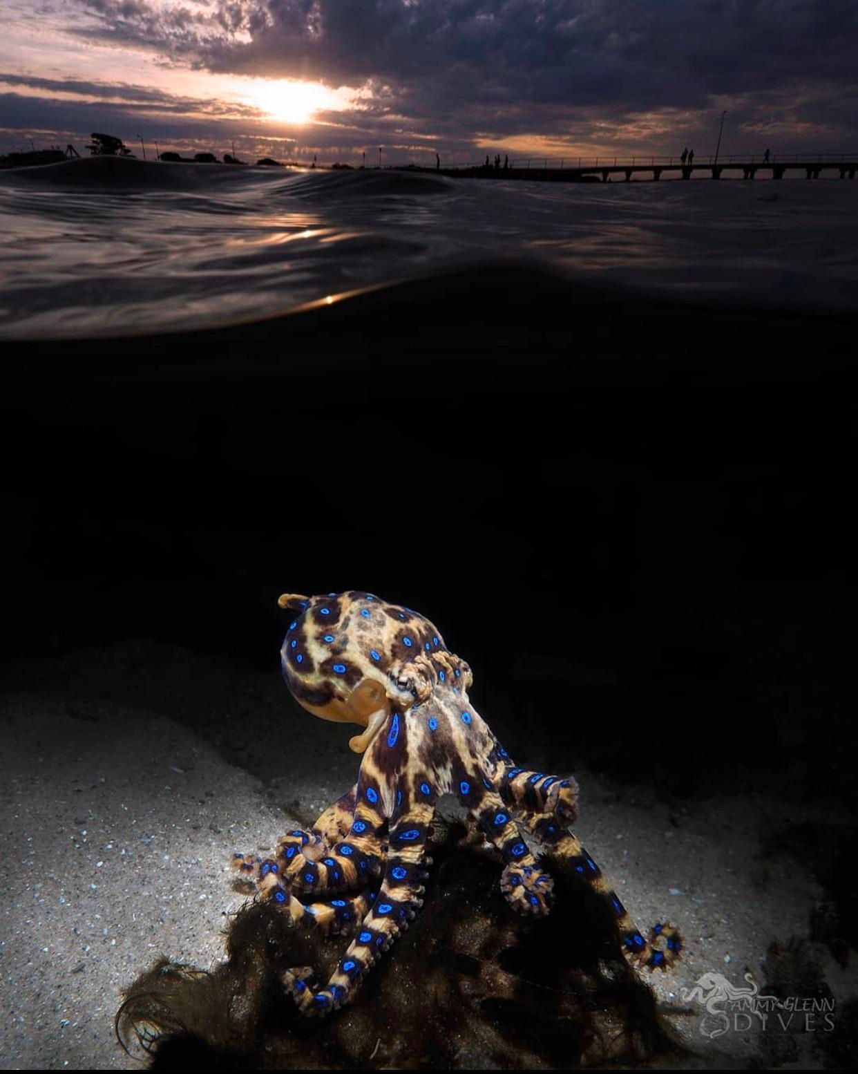 Southen Blue-Ringed Octopus 1