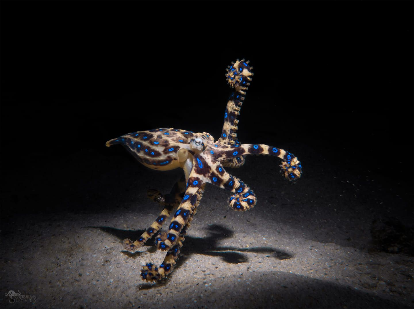Southen Blue-Ringed Octopus 2