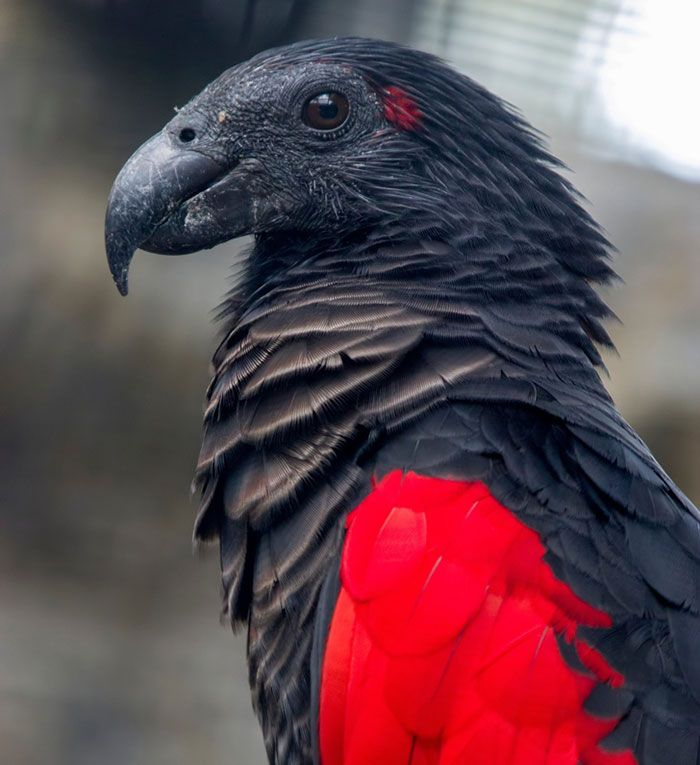 The Dracula Parrot