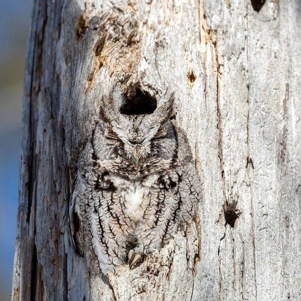 Camouflaged Owl 2