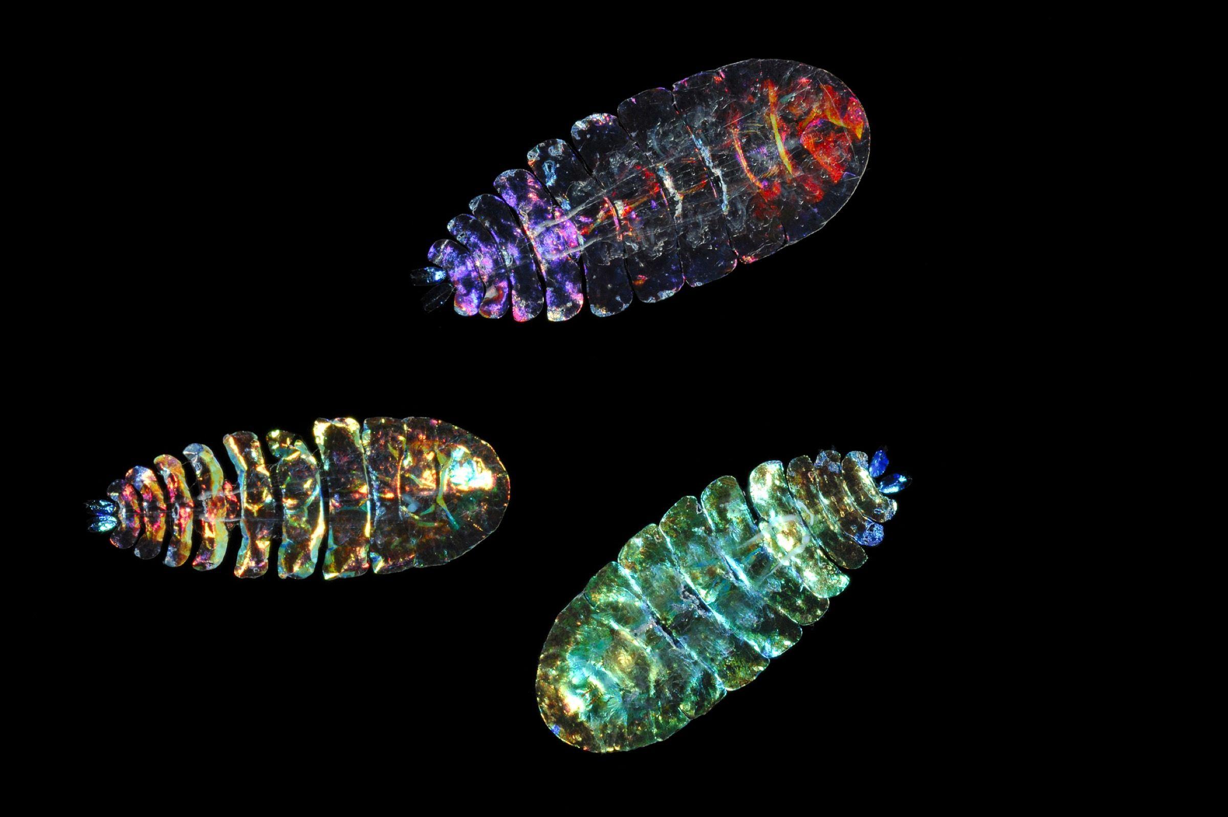 Male copepods