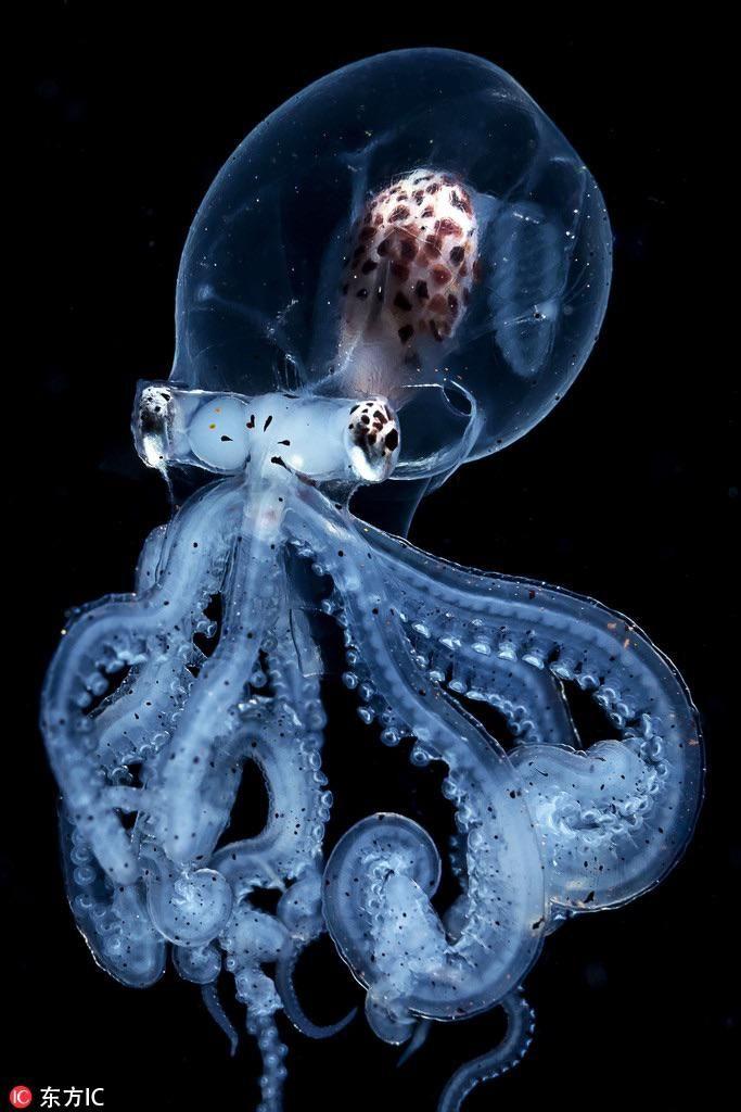 transparent baby octopus